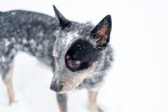在雪的澳大利亚牛狗 图库摄影