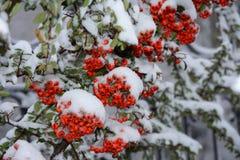 在雪的火棘coccinea 免版税图库摄影
