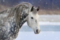 在雪的灰色马画象 免版税库存图片