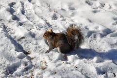 在雪的灰鼠 库存图片