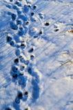 在雪的爪子打印 库存照片