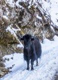 在雪的牦牛,不丹 库存图片