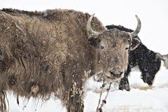 在雪的牦牛 库存图片