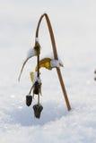 在雪的犁花 图库摄影