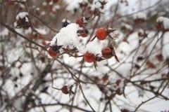 在雪的狂放的玫瑰色果子 免版税库存照片