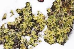 在雪的狂放的蔓越桔矮灌林 免版税图库摄影