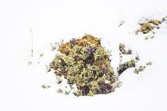 在雪的狂放的蔓越桔矮灌林 免版税库存照片