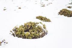 在雪的狂放的蔓越桔矮灌林 免版税库存图片