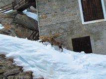 在雪的狐狸 免版税库存图片
