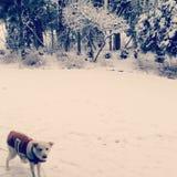 在雪的狗佩带的外套 免版税图库摄影