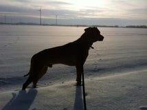 在雪的狗剪影 库存照片