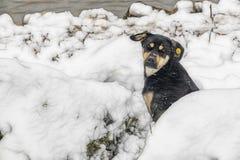 在雪的狗本质上 免版税库存图片