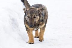 在雪的狗 免版税库存照片