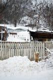 在雪的狗 图库摄影