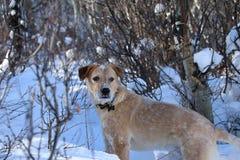 在雪的狗 免版税图库摄影