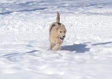 在雪的狗 库存照片