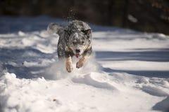 在雪的狗攻击 库存图片