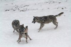 在雪的狼 免版税库存图片