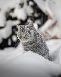 在雪的猫在随风飘飞的雪 免版税库存照片