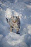 在雪的猫在随风飘飞的雪 免版税库存图片