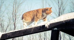 在雪的猫狩猎 免版税库存照片