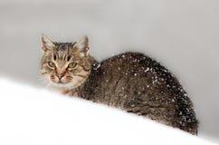 在雪的猫 免版税库存图片