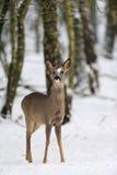 在雪的獐鹿鹿 库存照片