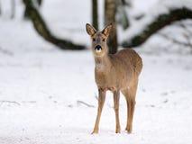 在雪的獐鹿鹿 图库摄影