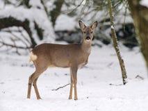在雪的獐鹿鹿 免版税库存图片