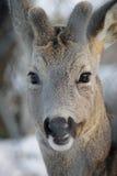 在雪的獐鹿 免版税图库摄影