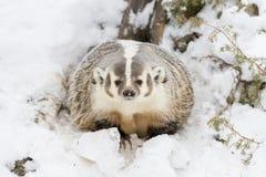 在雪的獾 图库摄影