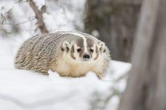 在雪的獾 免版税图库摄影
