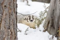 在雪的獾 免版税库存图片