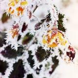 在雪的玫瑰 在玫瑰的雪 图库摄影