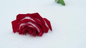 在雪的玫瑰 影视素材
