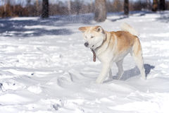 在雪的甜日本人秋田Inu狗在暴风雪期间的森林和雪花在她的面孔飞行 免版税库存照片