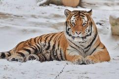 在雪的男性阿穆尔河老虎休息 免版税库存图片