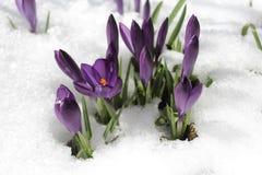 在雪的番红花和春天雪花 库存照片