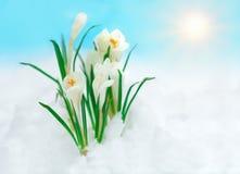 在雪的番红花 免版税库存图片
