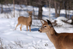 在雪的白尾鹿 免版税图库摄影