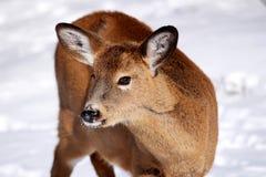 在雪的白尾鹿 库存照片