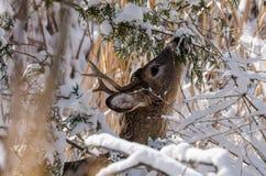 在雪的白尾鹿 免版税库存照片