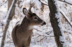 在雪的白尾鹿 库存图片