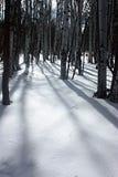 在雪的白杨木 库存图片