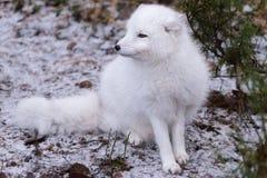 在雪的白狐 库存照片