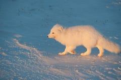 在雪的白狐 免版税图库摄影