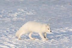 在雪的白狐 免版税库存照片