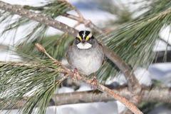 在雪的白红喉刺莺的麻雀麻雀albicollis 库存图片