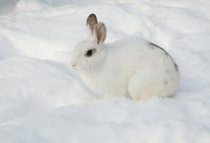 在雪的白色兔子 库存照片