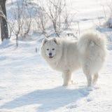 在雪的白色狗萨莫耶特人戏剧 免版税图库摄影